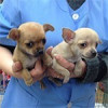 Chihuahuas - Surveco