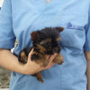 Yorshire Terrier Miniatura hembra 2/11/2015 - Surveco