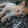 Gato romano rubio - Surveco