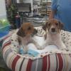 Cruce de Breton 2 meses camada de 6 cachorritos - Surveco
