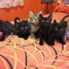Camada gatitos romanos 1,5 meses - Surveco