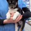 cachorrito cruce Husky - Surveco