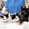 Tres gatitos preciosos dos meses - Surveco