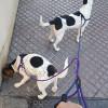 cachorros 6 meses cruce de bodeguero y beagle - Surveco