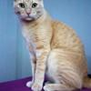 Gato Romano Rubio ( Simba) - Surveco