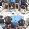camada 1,5 meses 7 cachorros cruce pastor aleman - Surveco