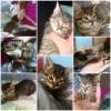 gatitos varios 1,5 meses - Surveco