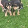 Pareja de cachorros 3 meses abandonados en parcela - Surveco