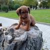 Cachorrito dos meses encontrado en adopción - Surveco