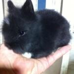 conejo-toy-de-angora-3