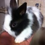 conejo-toy-de-angora-4