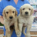 golden-retrievers-07