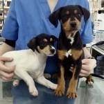 16 marzo 4 cachorros cruce pinsher