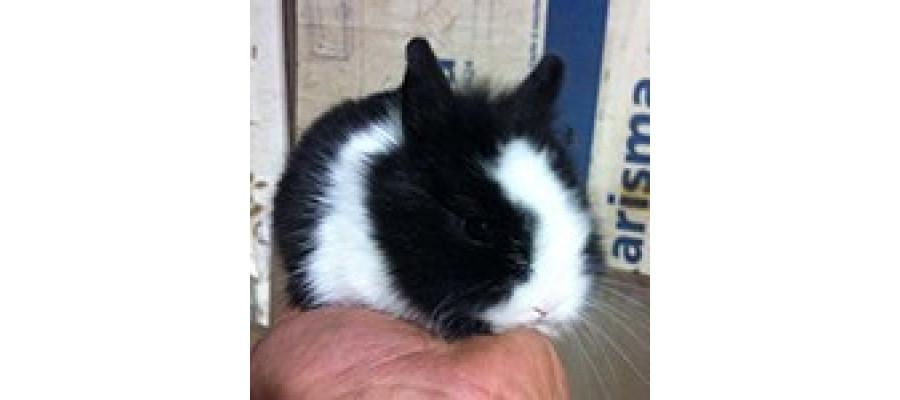 Conejo Toy de Angora - Surveco