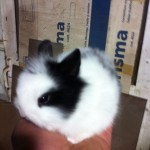 conejo-toy-de-angora-2