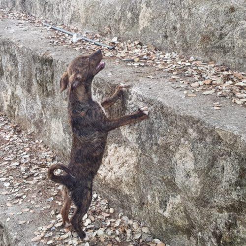 Cachorros Cruce Podenco-Bodeguero - Surveco