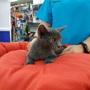 Preciosa gatita cruce azul ruso - Surveco
