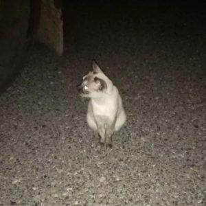 Gato adulto muy manso - Surveco