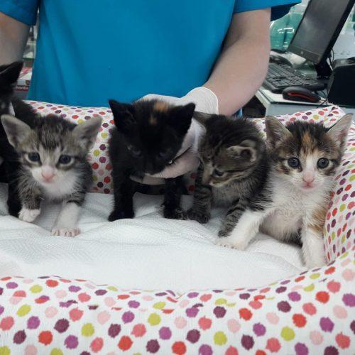 5 Gatitos en adopción responsable - Surveco