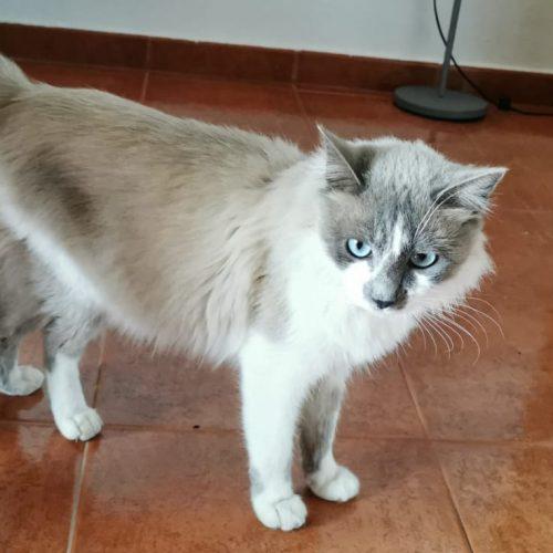 Gato macho - Surveco