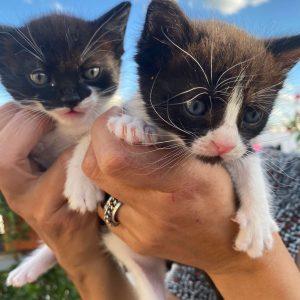 Gatitos machos - Surveco
