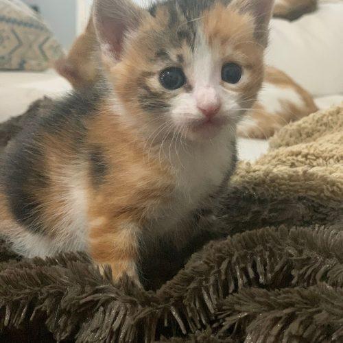 Gatitos en adopción - Surveco
