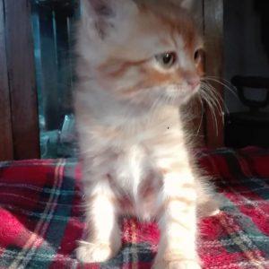 Gatito en adopción - Surveco